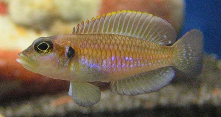 Lamprologus ocellatus