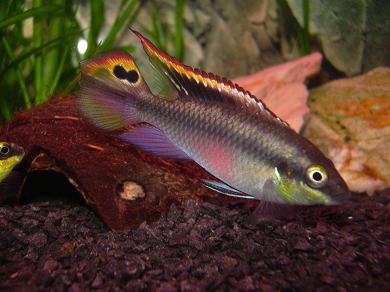 Splendido esemplare di Pelvicachromis pulcher
