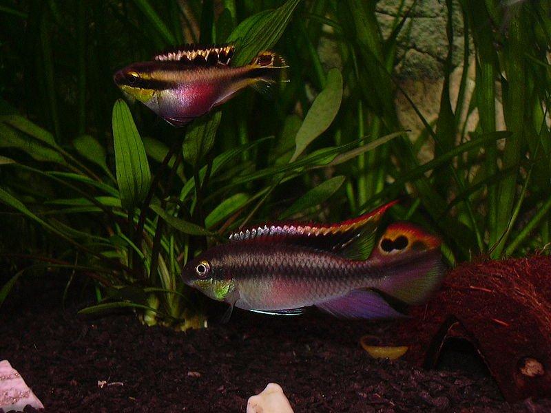 Coppia di Pelvicachromis pulcher