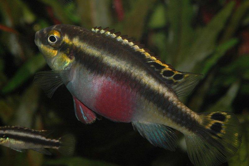 Femmina adulta di Pelvicachromis pulcher