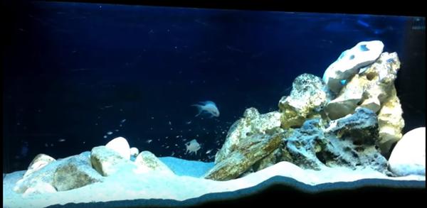 Acquario tanganica con un asplendida colonia di neolaprologus brichardi